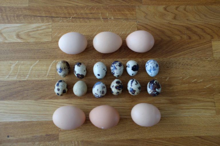 Hen's eggs and quail's eggs